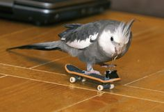 Cockatiel on a skateboard