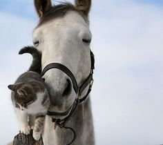 Cats and their horses. Gotta love horses and cats. My first experience seeing this was with a friend at the barn where her horse lodged. The cats would sleep on the horses. So cute! Animals And Pets, Baby Animals, Funny Animals, Wild Animals, Beautiful Horses, Animals Beautiful, Simply Beautiful, Pretty Animals, Majestic Animals