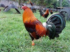 Game Fowl