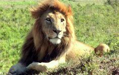 Este leão é o nosso galã. Ele estava tomando sol, mas daí ele resolveu  dar um rumo na vida e assumir uma família.