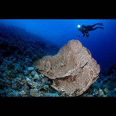 Giant sea fan with diver by Martin-Klein, via Flickr
