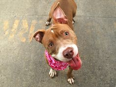 🔥URGENT🔥 CHICKPEA A1095051. I am a female tan and white am pit bull ter and staffordshire mix. The shelter thinks I am about 1 YEAR 1 MONTH old. I came in the shelter as a STRAY on 10/28/2016 from NY 11206, owner surrender reason stated was OWN EVICT. MOST RECENT MEDICAL INFORMATION AND WEIGHT 11/06/2016 Exam Type CAGE EXAM – Medical Rating is 3 C – MAJOR CONDITIONS , Behavior Rating is NONE, Weight 44.2 LBS.