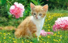 Kitten and peonies