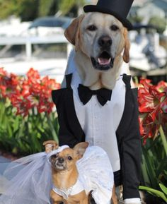 How to choose Dog Wedding Accessories. Check out www. to purchase wedding accessories for your dog! yappily-ever-after Garden Wedding Dresses, Dress Wedding, Dog Wedding, Wedding Card, Wedding Decor, Wedding Gifts, Cute Posts, Bow, Dog Friends
