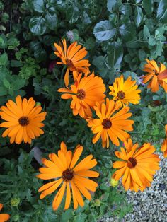 """As you already know I love yellow summer flowers - here is Osteospermum eclonis - better known in Norway as """"Spanish Daisy"""" - in my garden Margeritten by Inger Johanne 2015 :)"""