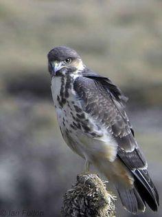 Mountain Buzzard (Buteo oreophilus) A bird perched on a giant lobelia plant, Sanetti Plateau
