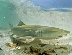 FIS - Worldnews - Measures introduced to protect sharks