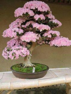 Azaleas bonsai