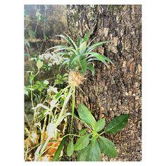 Pé de abacaxi  Itanhaém SP  Instagram: camilapedral Foto de: Camila Pedral