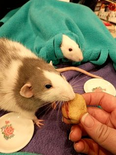 Can Cats Eat Peanut Butter Animals And Pets, Funny Animals, Cute Animals, Cats That Dont Shed, Cat Nose, Fancy Rat, Cats Bus, Pet Mice, Cute Rats