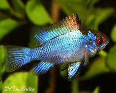 Electric Blue Ram, Featured item. #petfish #aquarium #grandjunction