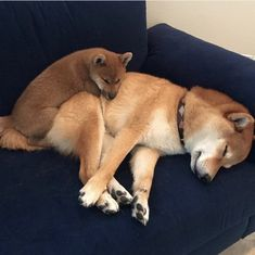 my dream doggo is an aussie or golden retriever, wbu? Shiba Inu, Shiba Puppy, Baby Animals, Cute Animals, Hachiko, Japanese Dogs, Pet Dogs, Pets, Cute Creatures