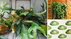 How To: Turn Your House Into a Staghorn Fern Party   The Horticult