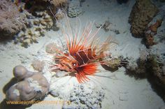 Dive sites (Red Sea): The Alternatives Red Sea Diving, Egypt, Alternative, Animals, Animales, Animaux, Animal, Animais