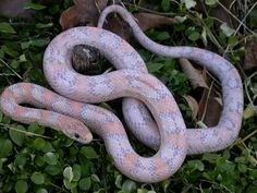Adult Orchid Corn Snake