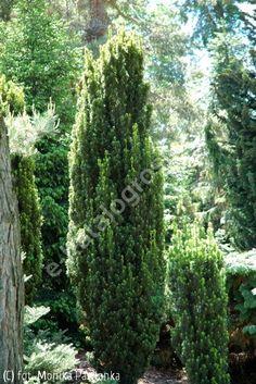 cis pospolity 'Fastigiata Robusta' - Taxus baccata 'Fastigiata Robusta' | Katalog roślin - e-katalog roślin