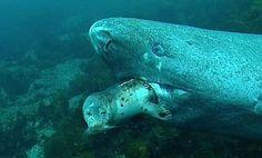 A Greenland shark preys upon an unfortunate seal Weird Sharks, Weird Fish, Mythical Sea Creatures, Deadly Creatures, Greenland Shark, Shark Images, The Blue Planet, Apex Predator, Water Animals