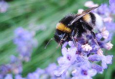 Humlebi/bumblebee. Foto by: WAOdesign