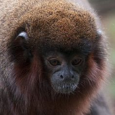 Red Titi Monkey close-up