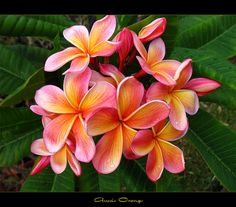 Rare Exotic Flowers   Rare Flowers - The Plumeria Aussie Orange   Flickr - Photo Sharing!