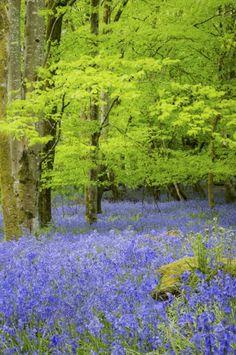 Carpets of Bluebells in Llandeilo's, Castle Woods at NT Dinefwr Park in Carmarthenshire