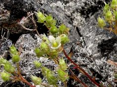 Saxifraga tricuspidata Rottbøll  -  Prickly Saxifrage