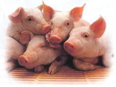 A Moment for the Pigs « A Search for Compassion