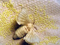 To produce 100 grams of silk, it is necessary to kill approximately 1500 silkworms to cook them alive.