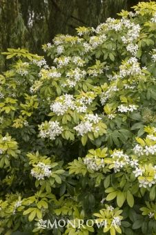 Sundance Mexican Orange Blossom - Monrovia - Sundance Mexican Orange Blossom - Princess of Nerola - Orange Flowering Plants, Orange Plant, Flowering Shrubs, Orange Flowers, White Flowers, Backyard Planters, Mock Orange, Monrovia Plants, Plant Aesthetic