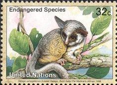 Senegal Bushbaby (Galago senegalensis)