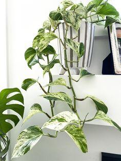 Pathos Plant, Indoor Tropical Plants, Marble Queen Pothos, Neon Pothos, Arrowhead Plant, Indoor Climbing, Plant Drawing, Hanging Plants, Horticulture