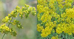 Drăgaica (Galium verum), supranumită și Floarea-Sfântului Ion, sânziană sau smântânică Om, Herbs, Fruit, Plant, Herb, Medicinal Plants