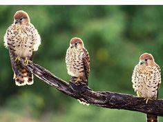 Mauritius Kestrel (Bird of Prey) Dunway Enterprises - http://www.dunway.com/bird_package/index.html