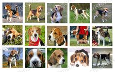 Beagles Digital Collage 1.5 inch / 175 by LisaChristines on Etsy, $1.50