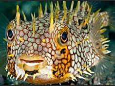 Porcupine Fish - The slender-spined porcupine fish or globefish, Diodon nichthemerus, is a porcupinefish of the family Diodontidae, found in the waters of southern Australia. It has slender yellow spines used in predator defence and has the ability to blow its body so its sharp spines protrude when alarmed. - Wikipedia