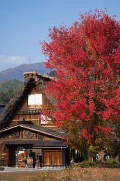 https://flic.kr/p/AbWFm5 | Red Tree | Autumn of Shirakawago 秋の白川郷  It was nice red leaves. この赤がとても気になりました。  Shirakawa-mura, Ohnogun, Gifu pref, Japan