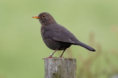 "michael.jh posted a photo:  Female common blackbird ""Turdus merula"""
