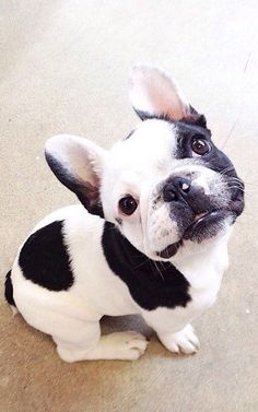 French bulldog - black and white                                                                                                                                                     More