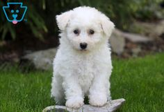 This attractive Bichon puppy will make a great addition to any family. He is a real bundle of joy and will be a nice family pet. Bichon Puppies For Sale, Cute Baby Puppies, Cute Babies, Pet Quotes Cat, Animal Quotes, Dog Pictures, Cute Pictures, Pets For Sale, Bichon Frise