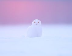 SNOWY OWL ( MALE ) by peter  makuch