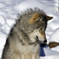 Wolves 2013-11 by etienne242.deviantart.com on @deviantART