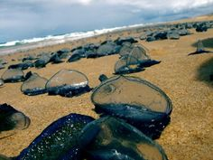 Blue Bottle Jellyfish cousins invaded a beach in Australia, leaving the coast looking like it's covered in broken bottle shards.