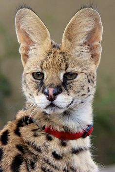 I don't think this guy is hard of hearing. Jabari is the San Diego Zoo's handsome African serval ambassador. (photo: Penny Hyde)