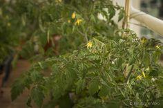 plantar tomate em vasos