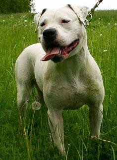 American bulldog coming home soon!