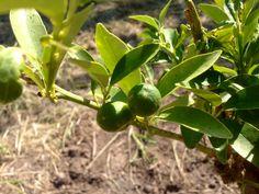 Stamattina sono nati i kumquat, crescono biologici e stanno bene.