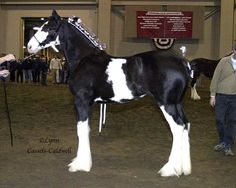 Wolf Mound Farms - Moss Clydesdales - Home of quality bred Clydesdales horses Big Horses, White Horses, Pretty Horses, Friesian, Appaloosa, Clydesdale, Draft Horses, Animals Beautiful, Farms