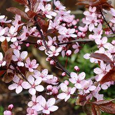 Prunus cerasifera 'Nigra' - Ornamental plum - Tree Shrub - Majestic Trees