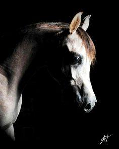 Sultan El Kharafy ( Snafee X Reem El Kharafi ) EQUINE PHOTOGRAPHY by : Ahmed Nashaat