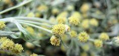 artemisia-ena-votano-pou-exafanizi-to-karkino-tou-mastou-se-16-ores-Artemisia absinthium